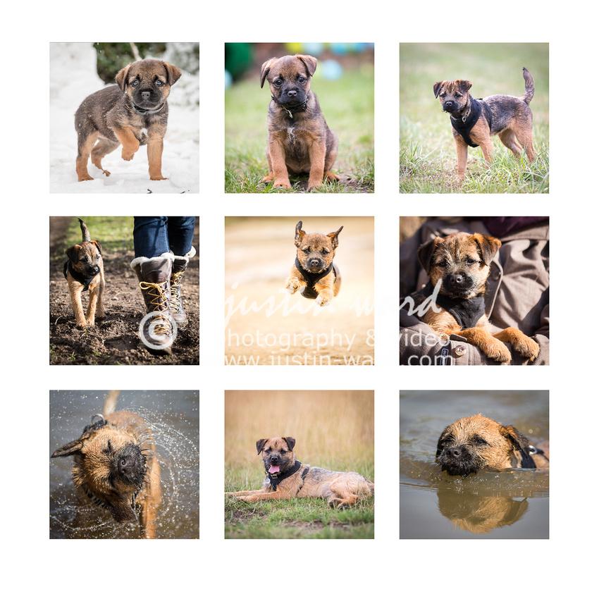 Border terrier montage