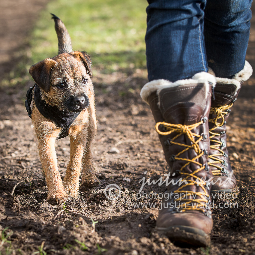 Border terrier 4